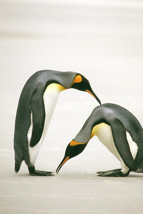 A Pair Of King Penguins In A Courtship Photograph  - A Pair Of King Penguins In A Courtship Fine Art Print