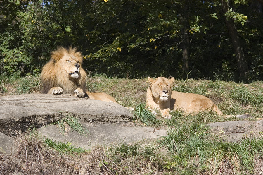 Pittsburgh Photograph - A Pair Of Lions In The Pittsburgh Zoo by Stacy Gold