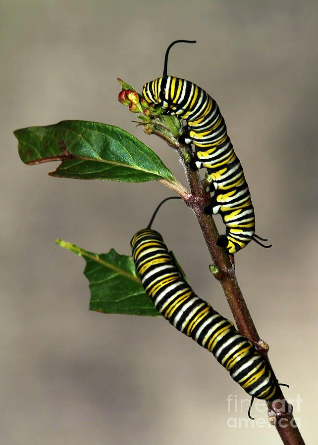 Caterpiller Photograph - A Pair Of Monarch Caterpillars by Sabrina L Ryan