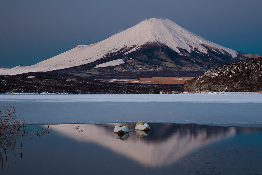 A Pair Of Mute Swans In Lake Kawaguchi In The Reflection Of Mt Fuji, Japan Photograph  - A Pair Of Mute Swans In Lake Kawaguchi In The Reflection Of Mt Fuji, Japan Fine Art Print