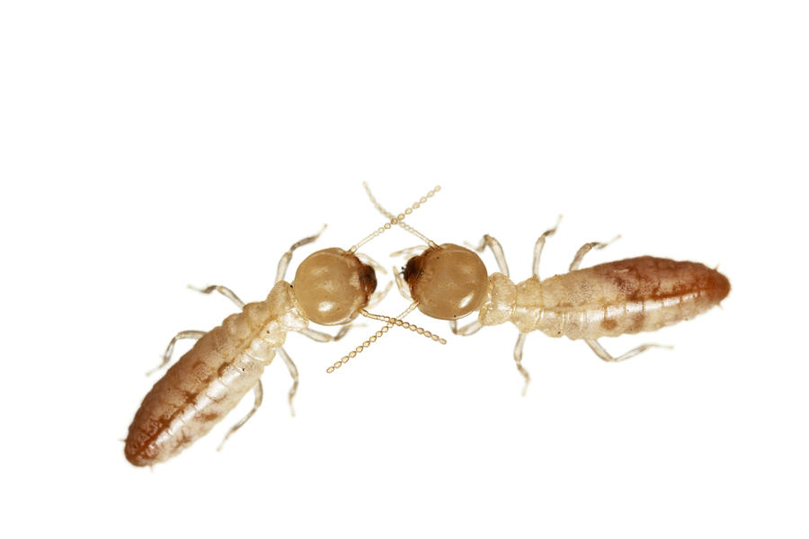 A Pair Of Termites Collected Photograph