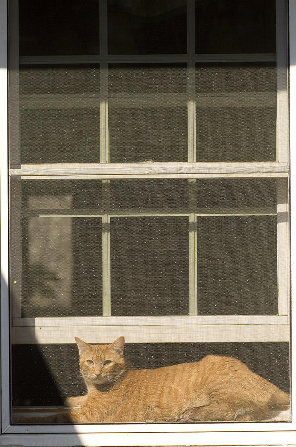 A Pet Cat Resting In A Screened Window Photograph
