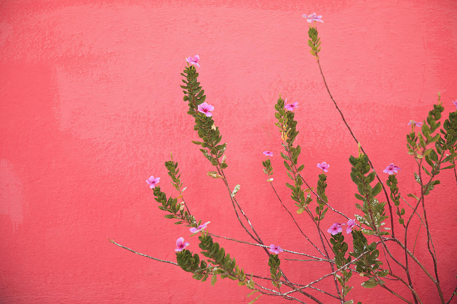 A Pink Flowering Plant Growing Beside A Photograph