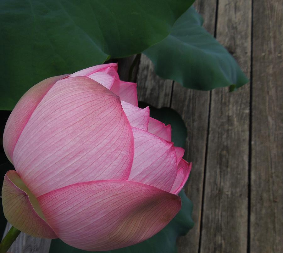 A Pink Lotus Flower Photograph  - A Pink Lotus Flower Fine Art Print