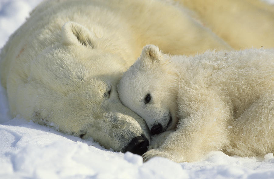 A Polar Bear And Her Cub Napping Photograph