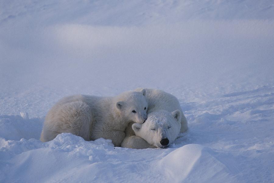 A Polar Bear Cub Ursus Maritimus Rests Photograph
