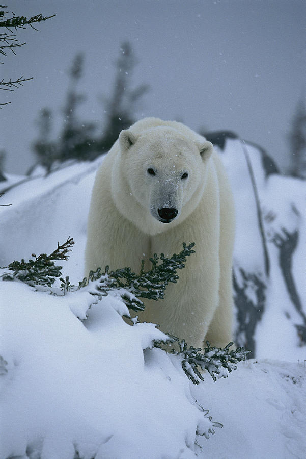 A Polar Bear In A Snowy, Twilit Photograph