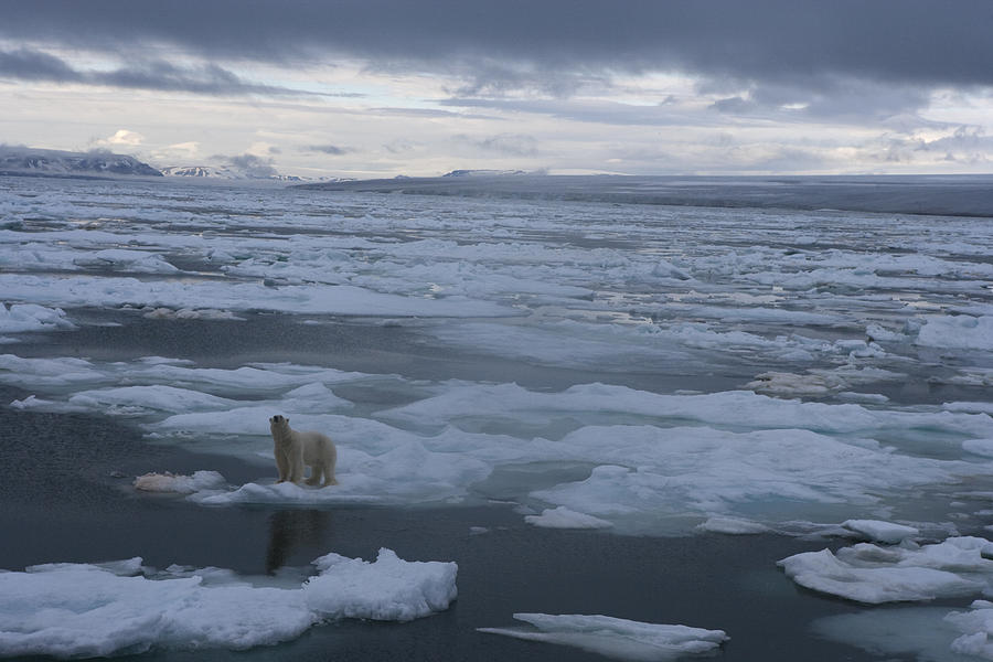 A Polar Bear On A Disintergrating Ice Photograph