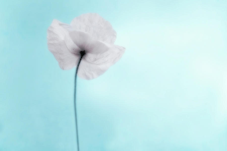 A Poppy Against A Cool Blue Background Photograph  - A Poppy Against A Cool Blue Background Fine Art Print