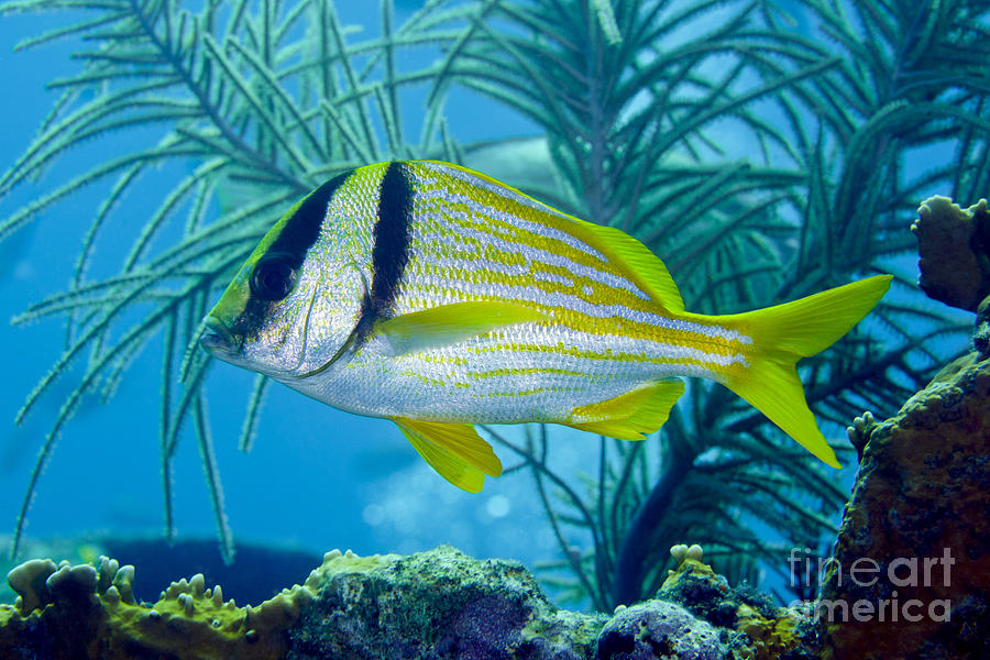 A Porkfish Swims By Sea Plumes Photograph