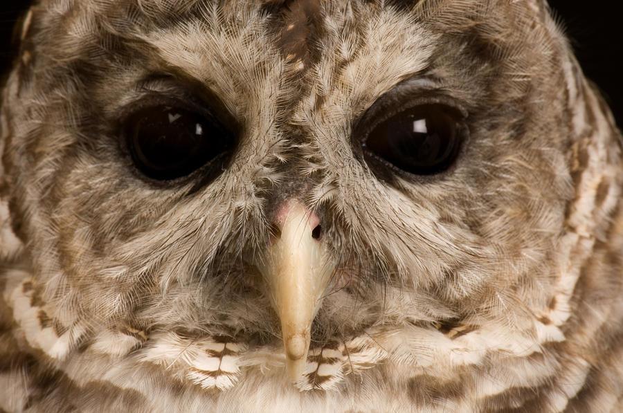 A Portrait Of A Barred Owl Strix Varia Photograph