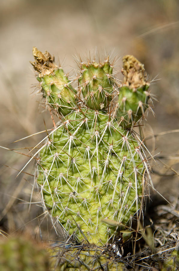 A Prickly Pear Cactus In Eastern Photograph  - A Prickly Pear Cactus In Eastern Fine Art Print