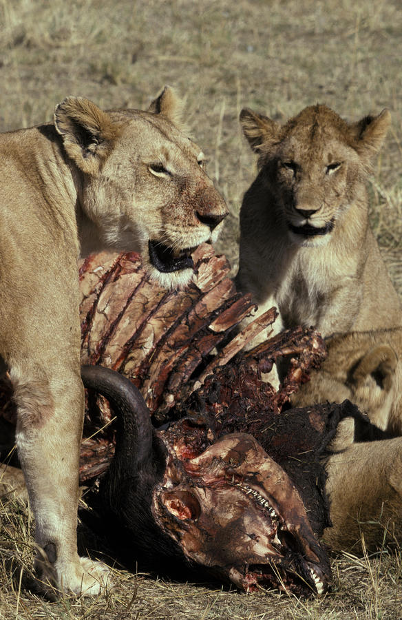 A Pride Of African Lions Feed Photograph
