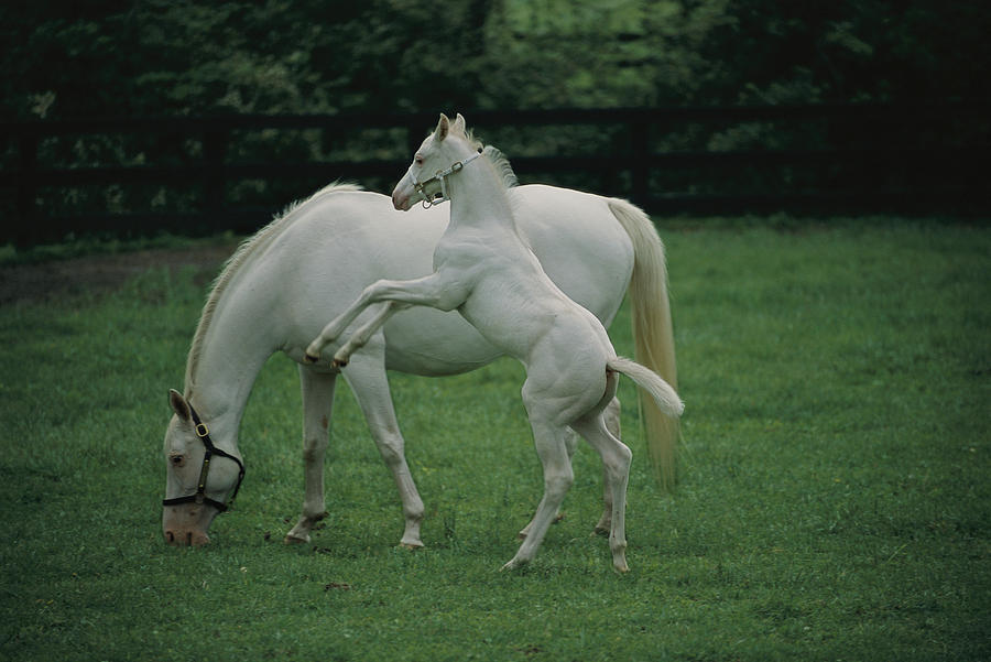 A Pure White Thoroughbred Mare Photograph  - A Pure White Thoroughbred Mare Fine Art Print