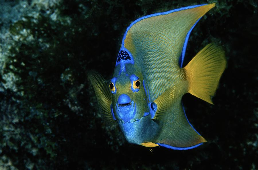 A queen angelfish holacanthus ciliaris photograph by for Queen angel fish