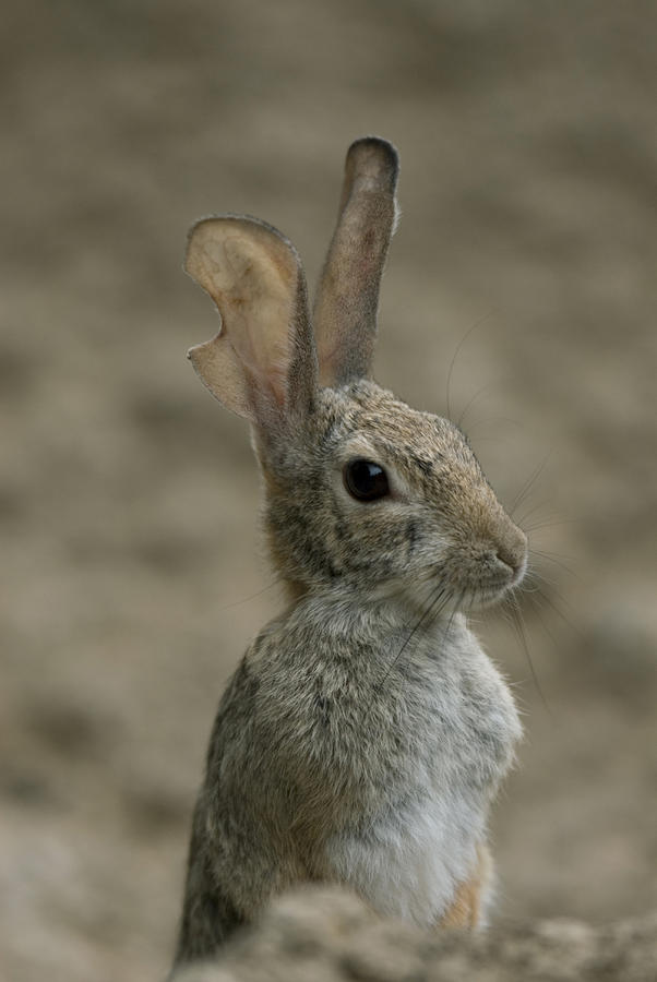 A Rabbit From The Omaha Zoo Photograph