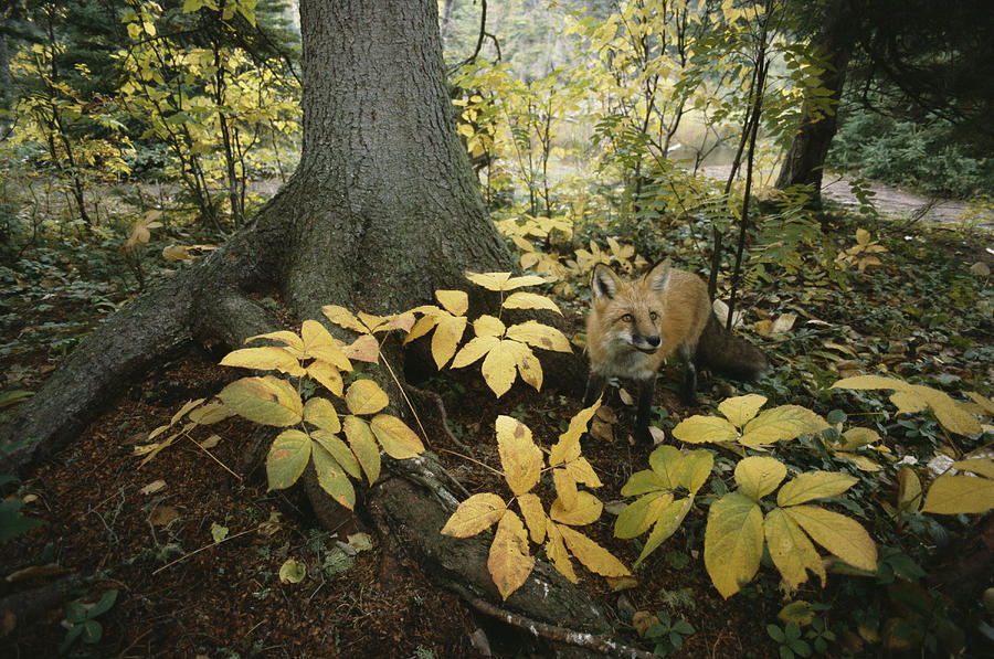 A Red Fox On Isle Royale In Lake Photograph