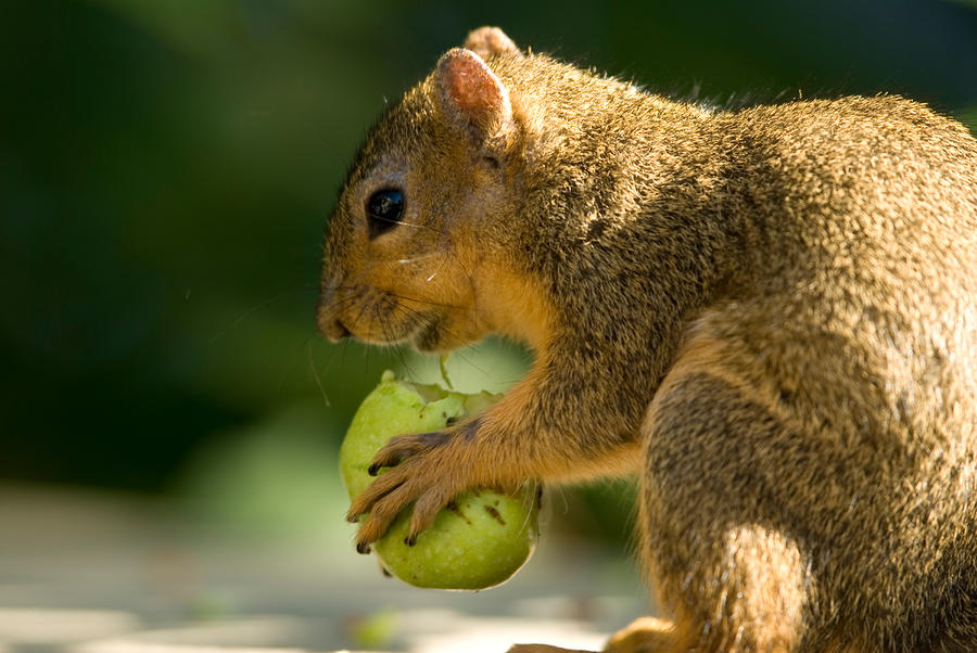 A Red Fox Squirrel Chews On A Walnut Photograph