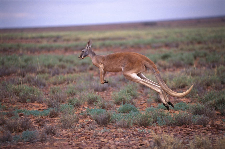http://www.animalsgallery.com/gallery/red-kangaroo-pictures/red-kangaroo-pictures_6.jpg | Red kangaroo reference | Pinterest | Red kangaroo
