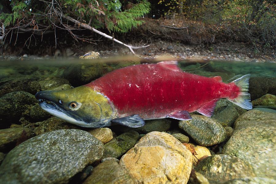 Red salmon fish - photo#11