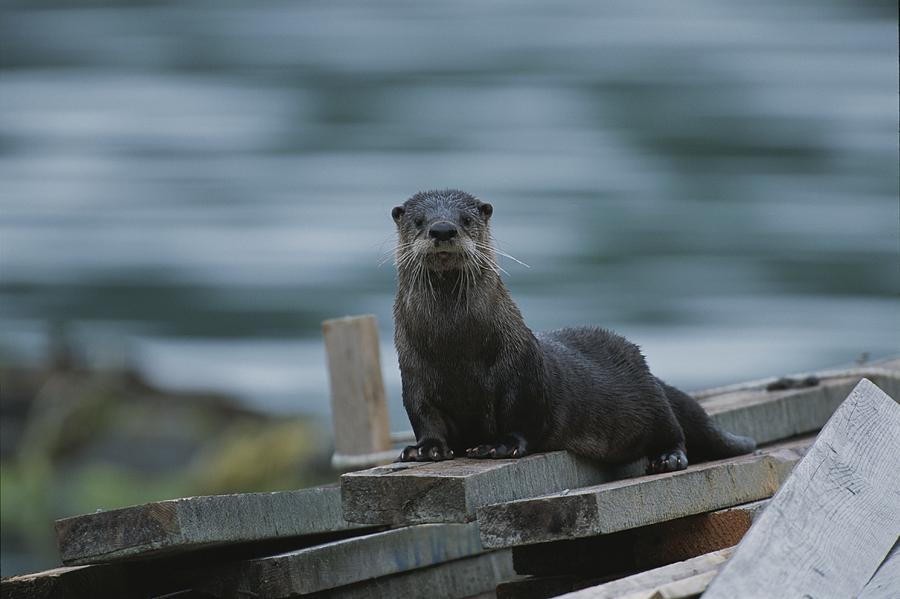 A River Otter Perched On Planks Of Wood Photograph