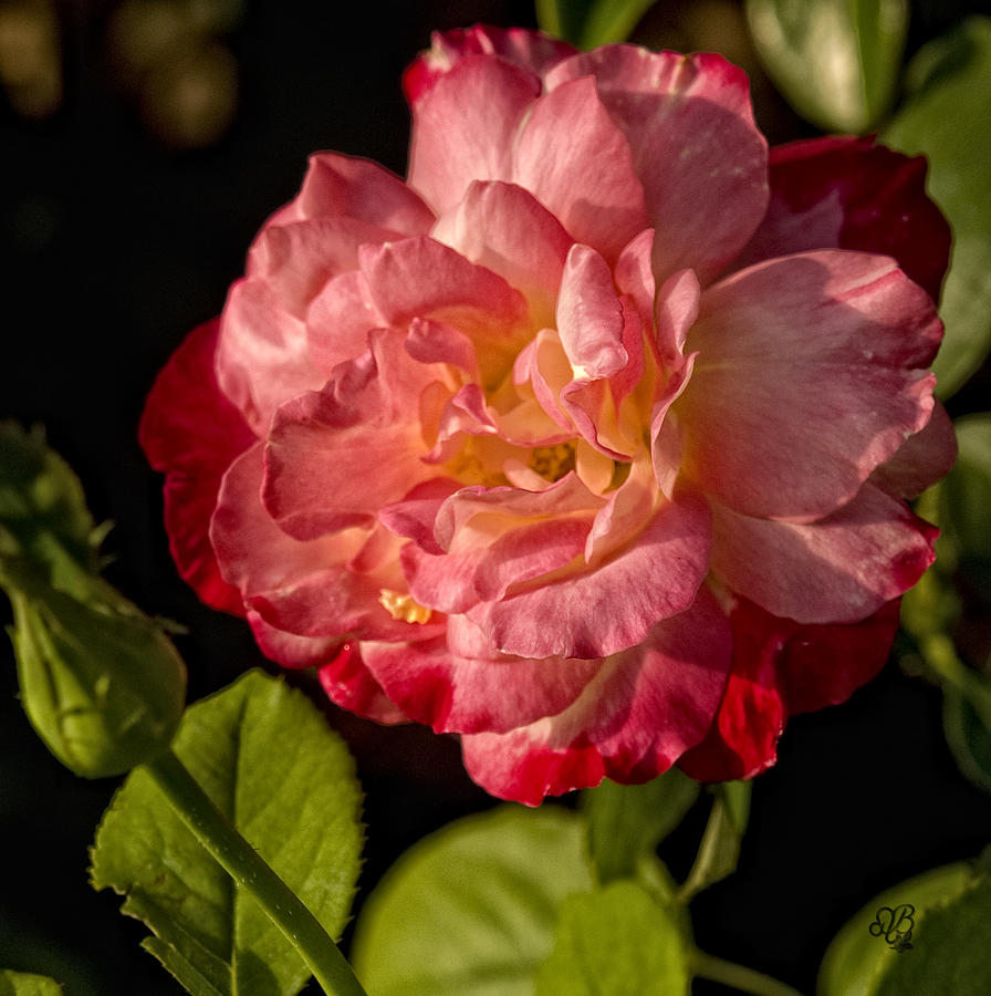 Rose Photograph - A Rose For Your Thoughts by Barbara Middleton