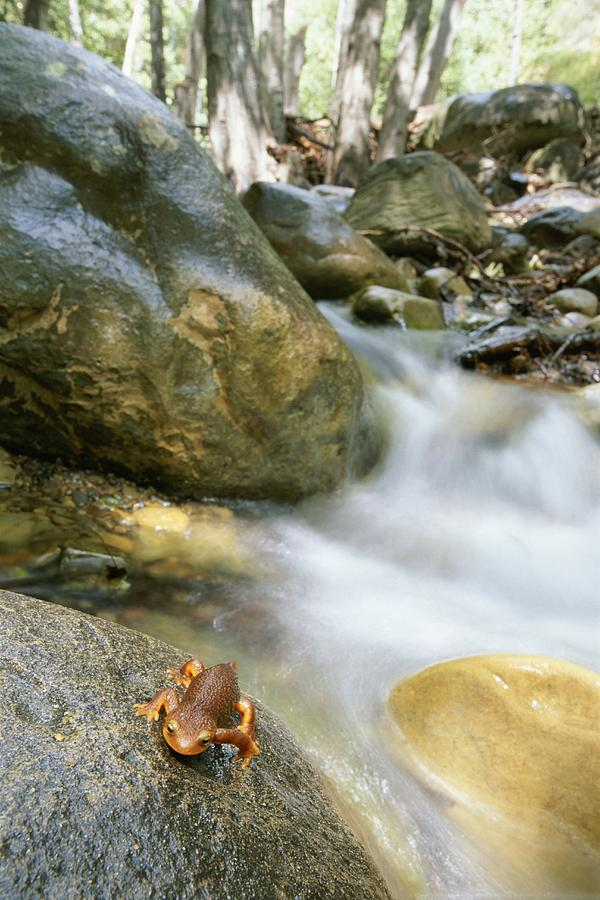 A Rough-skinned Newt Sits On A Rock Photograph