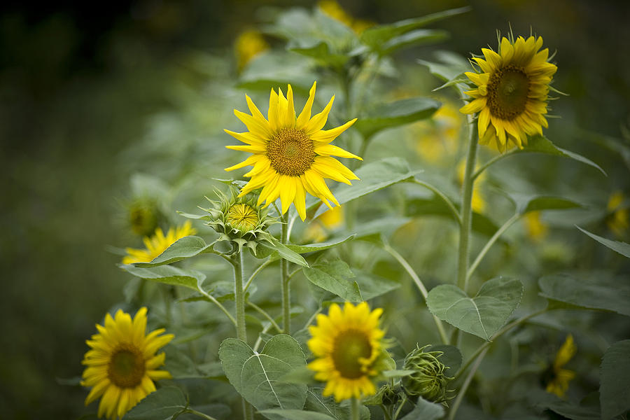 A Row Of Bright Yellow Sunflowers Grow Photograph