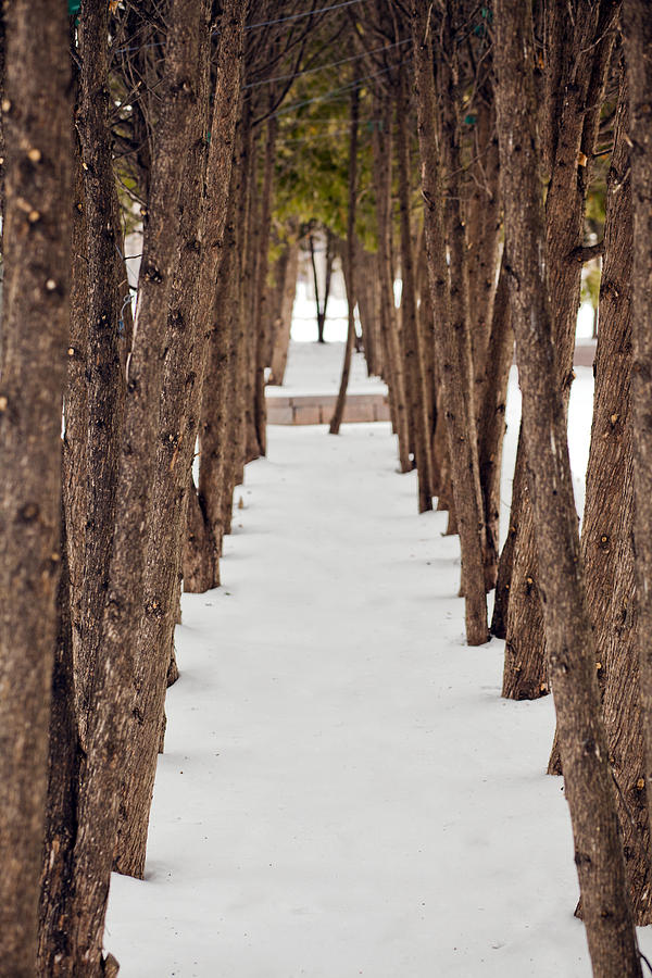 Vertical Photograph - A Row Of Trees Outside In The Snow During Winter. by Adam Hester