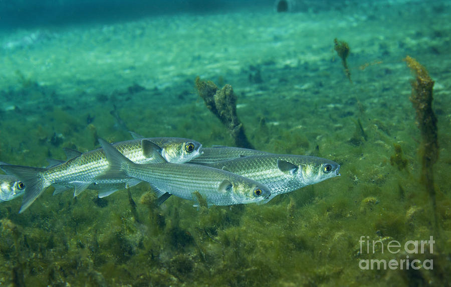A school of striped mullet wim photograph by michael wood for Mullet fish florida