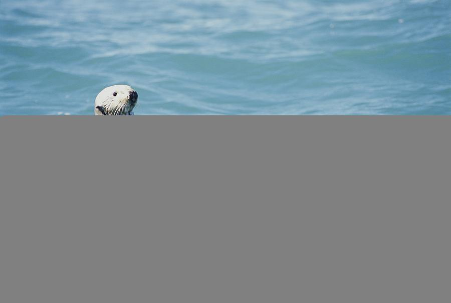 A Sea Otter Bobs On The Waters Surface Photograph  - A Sea Otter Bobs On The Waters Surface Fine Art Print