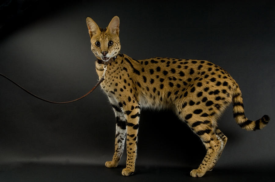 A Serval (leptailurus Serval) At The Denver Zoo Photograph - A Serval Leptailurus Serval by Joel Sartore