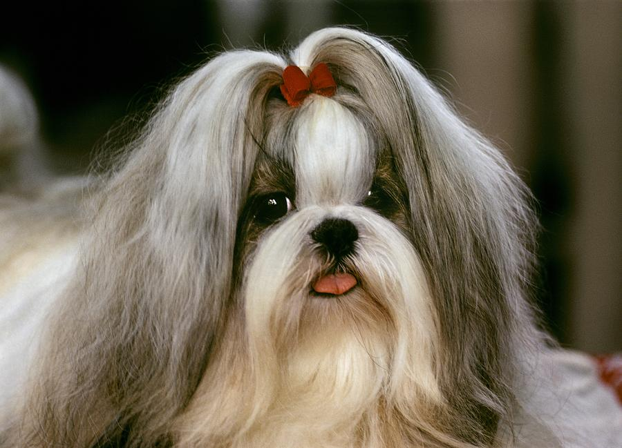 Islands Photograph  A Shih Tzu Poses At A Dog Show by Rex A. Stucky