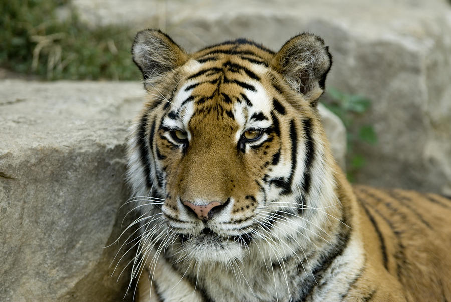 A Siberian Tiger At The Henry Doorly Photograph  - A Siberian Tiger At The Henry Doorly Fine Art Print