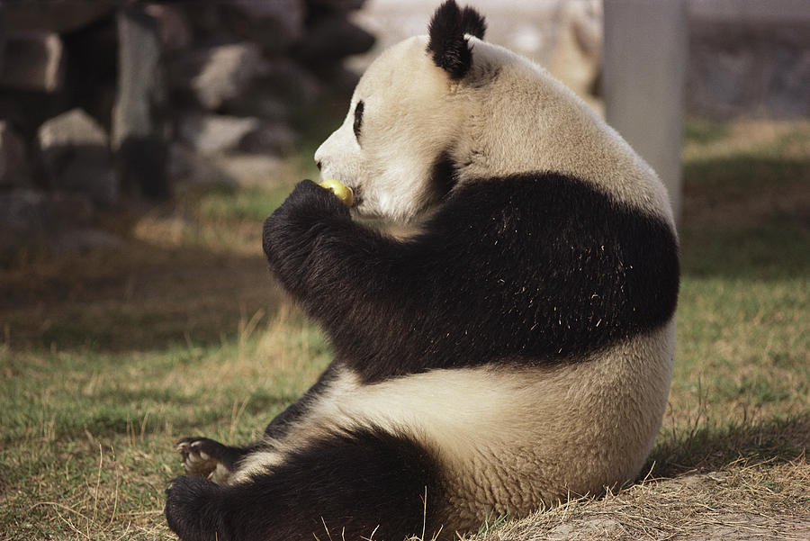 A Side View Of A Panda Bear Sitting Photograph