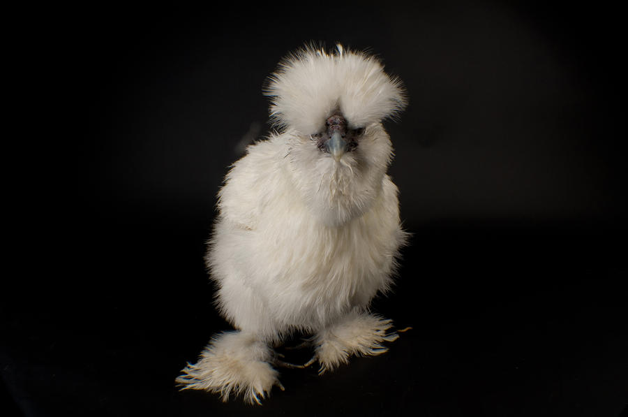 A Silkie Bantam Chicken Gallus Photograph