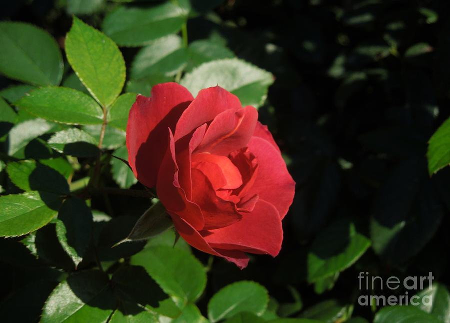A Single Burgundy Rose Photograph  - A Single Burgundy Rose Fine Art Print