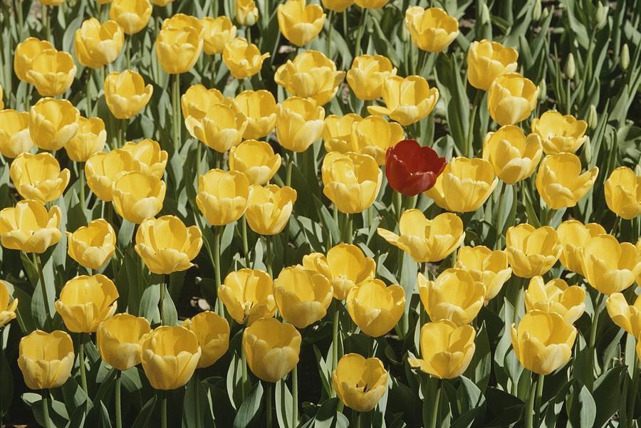 A Single Red Tulip Among Yellow Tulips Photograph