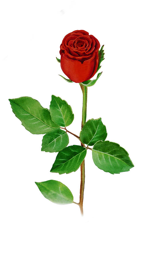 A Single Rose Painting