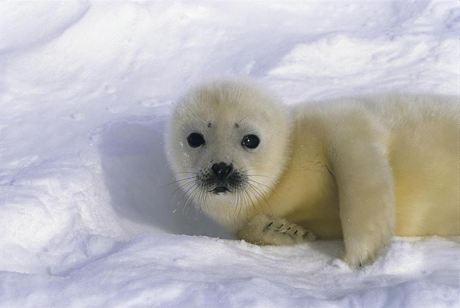 Baby Harp Seal Tour