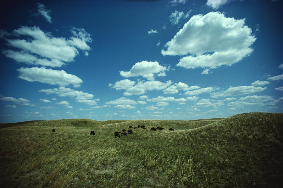A Small Herd Of Bison Bison Bison Graze Photograph