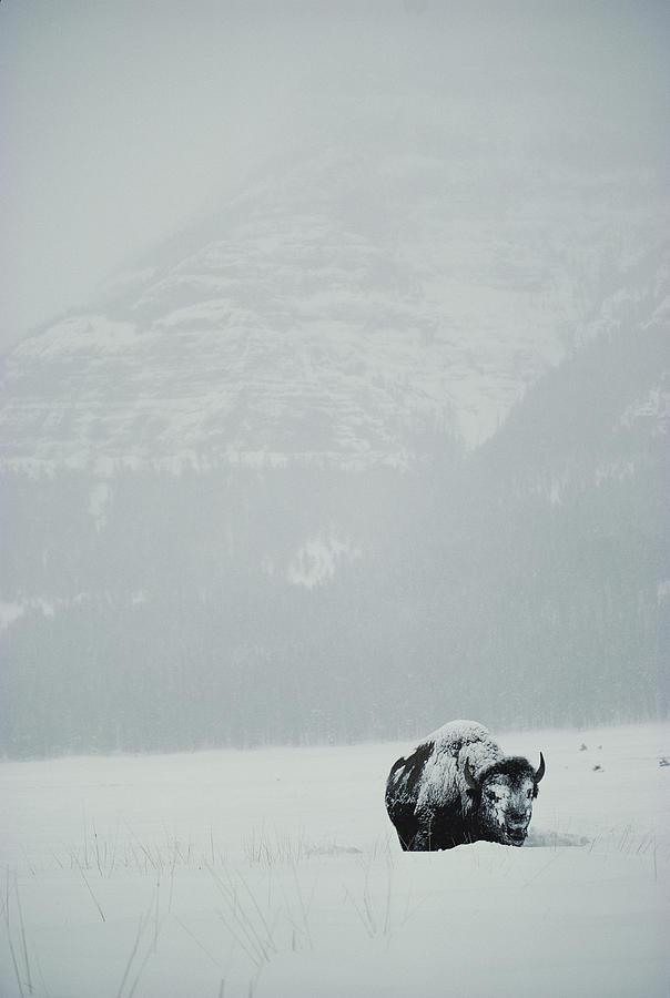 A Snow-covered American Bison Stands Photograph