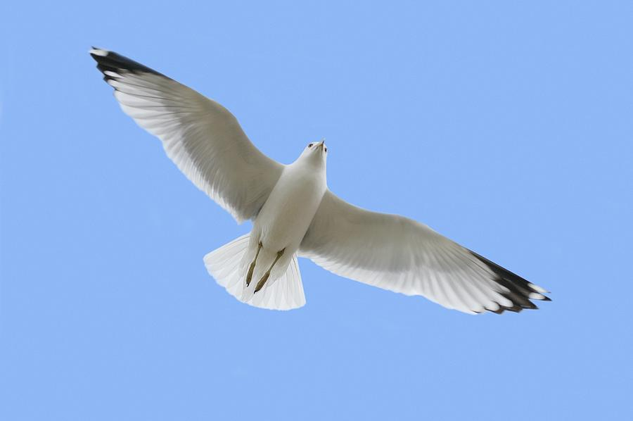 A Soaring Dove Photograph