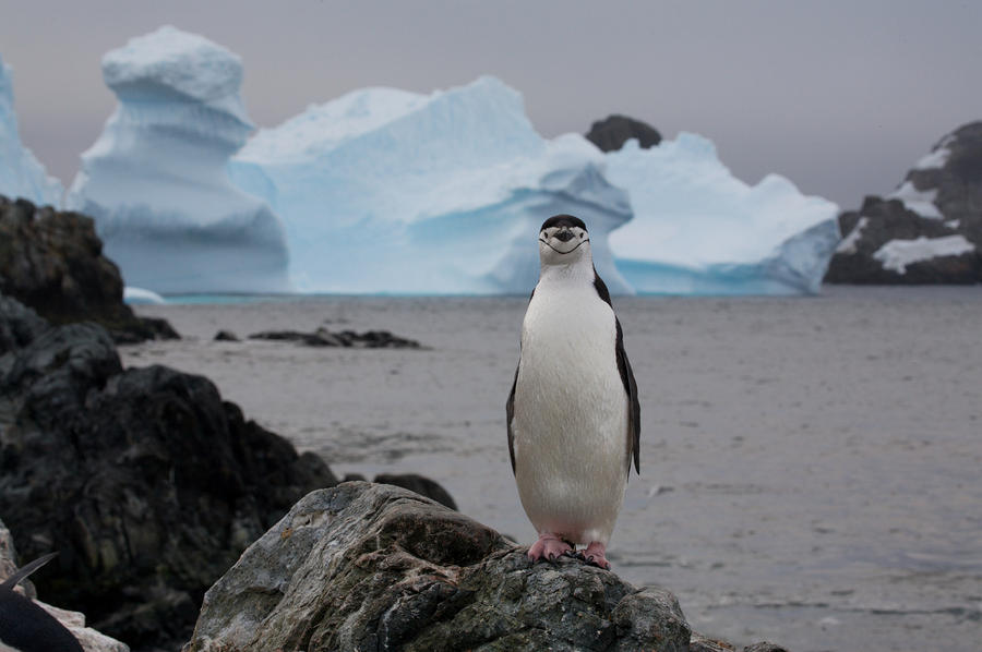 Outdoors Photograph - A Solitary Chinstrap Penguin Stands by Paul Nicklen