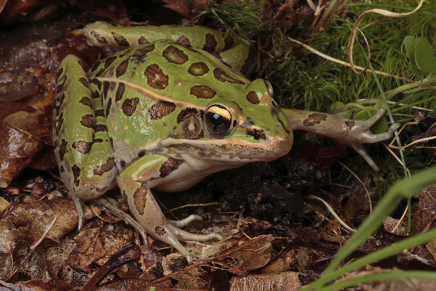 A Southern Leopard Frog Pauses In Leaf Photograph