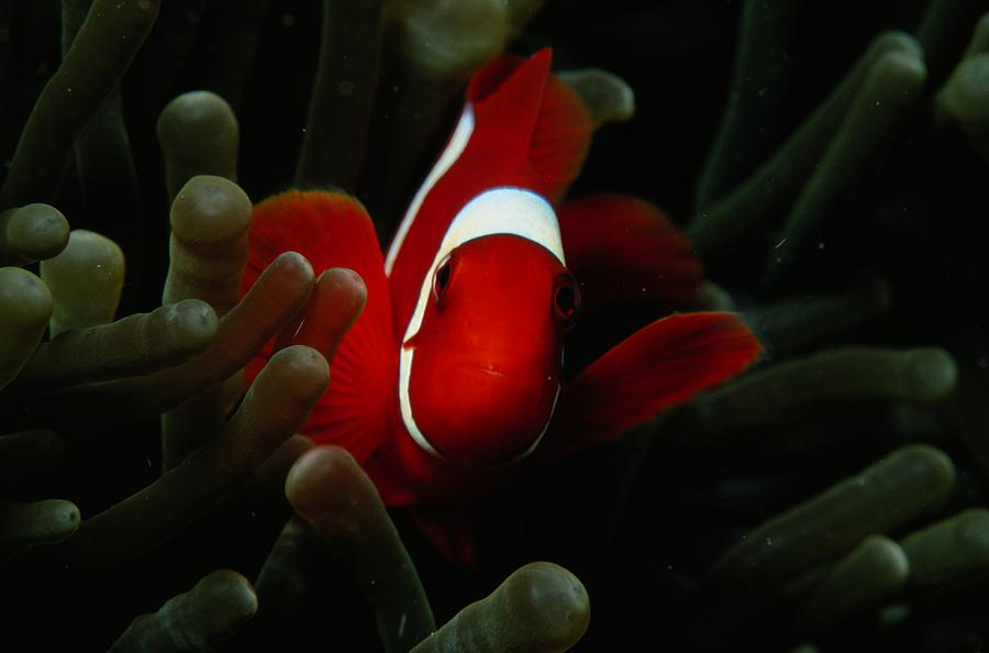 A Spinecheek Anemonefish Premnas Photograph  - A Spinecheek Anemonefish Premnas Fine Art Print