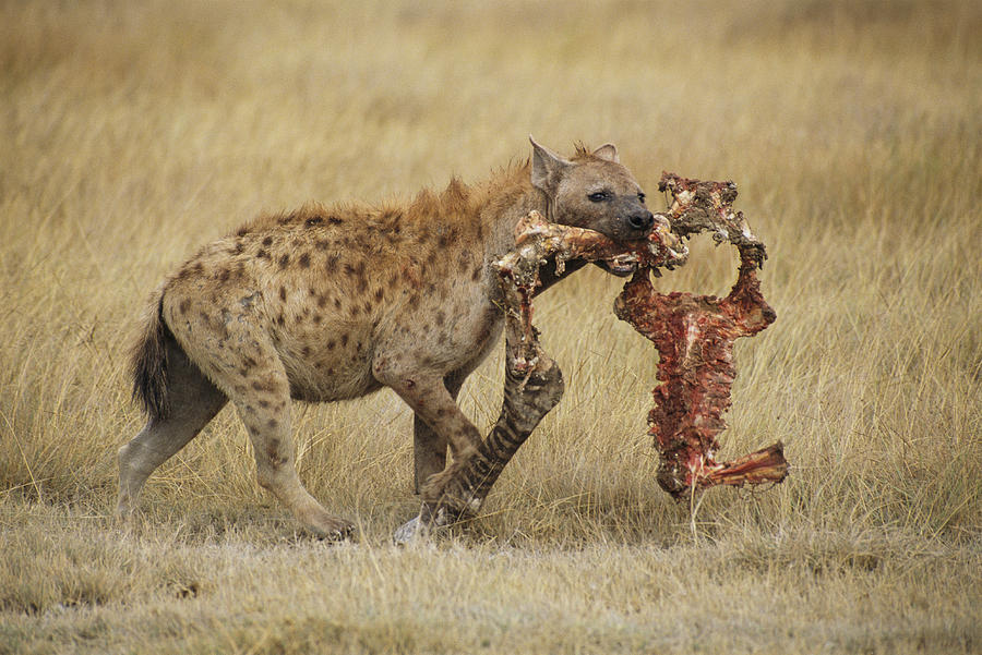 A Spotted Hyena Carries A Piece Photograph