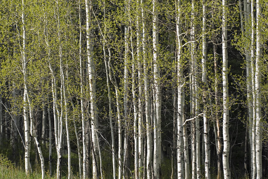 A Stand Of Aspen Trees At Wolf Creek Photograph