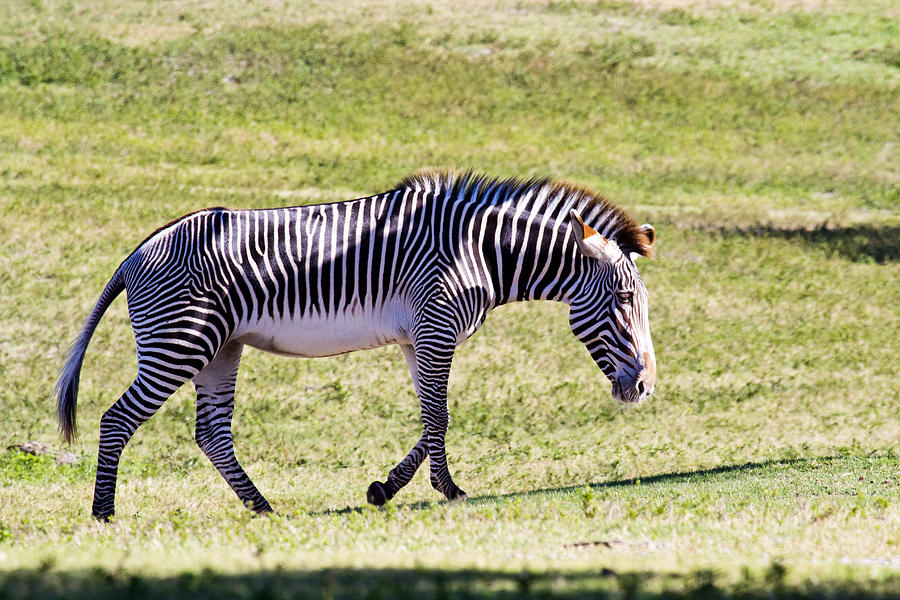 A Striped Ass Photograph  - A Striped Ass Fine Art Print