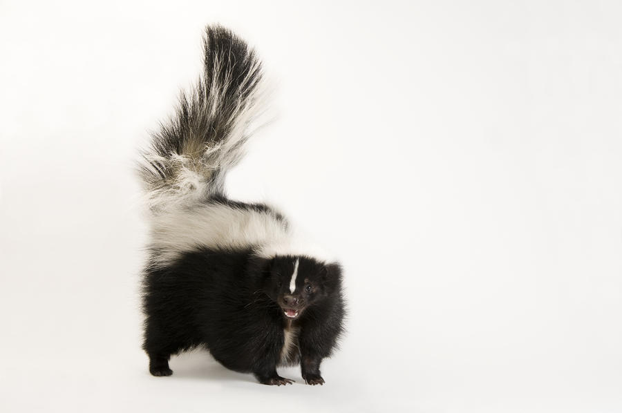 A Striped Skunk, Mephitis Mephitis Photograph